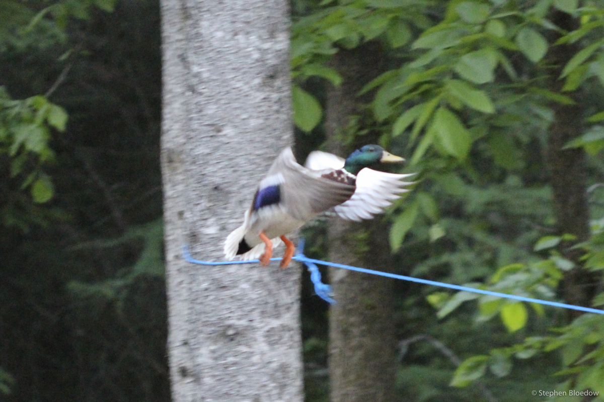 duck learning how to walk a tightrope not a photoshop trick